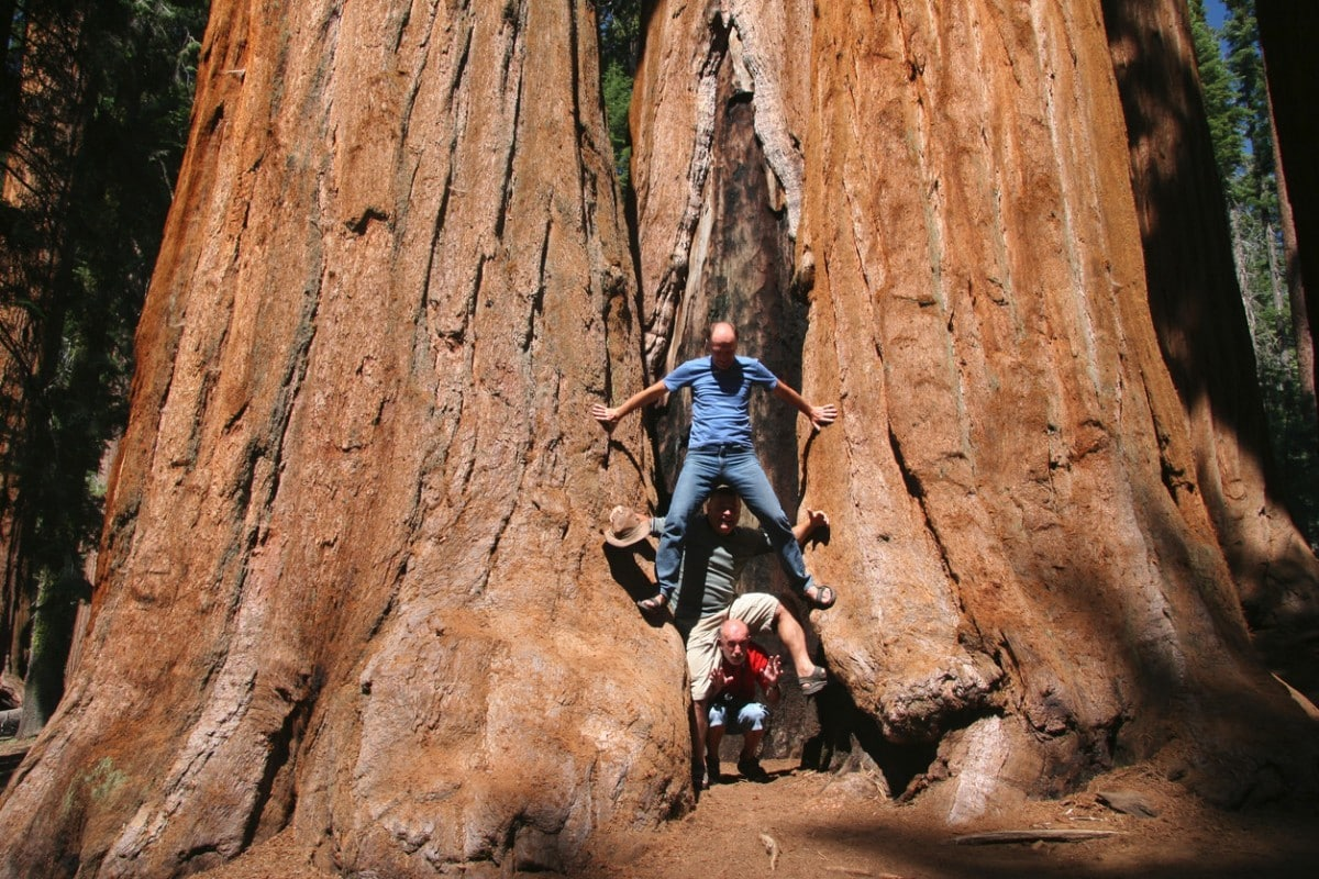hyperion a világ legmagasabb fája