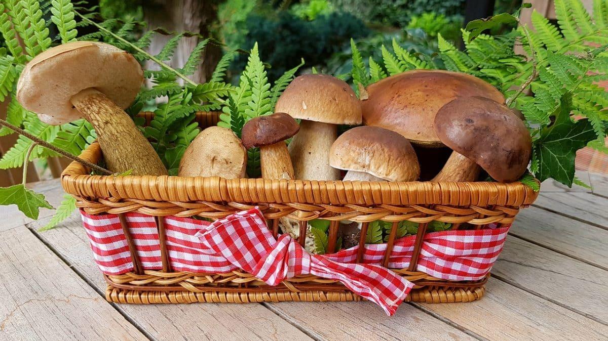 Beköszöntött az őszi gombaszezon: ezekre ügyelj, ha te is belevágnál a gombaszedésbe!