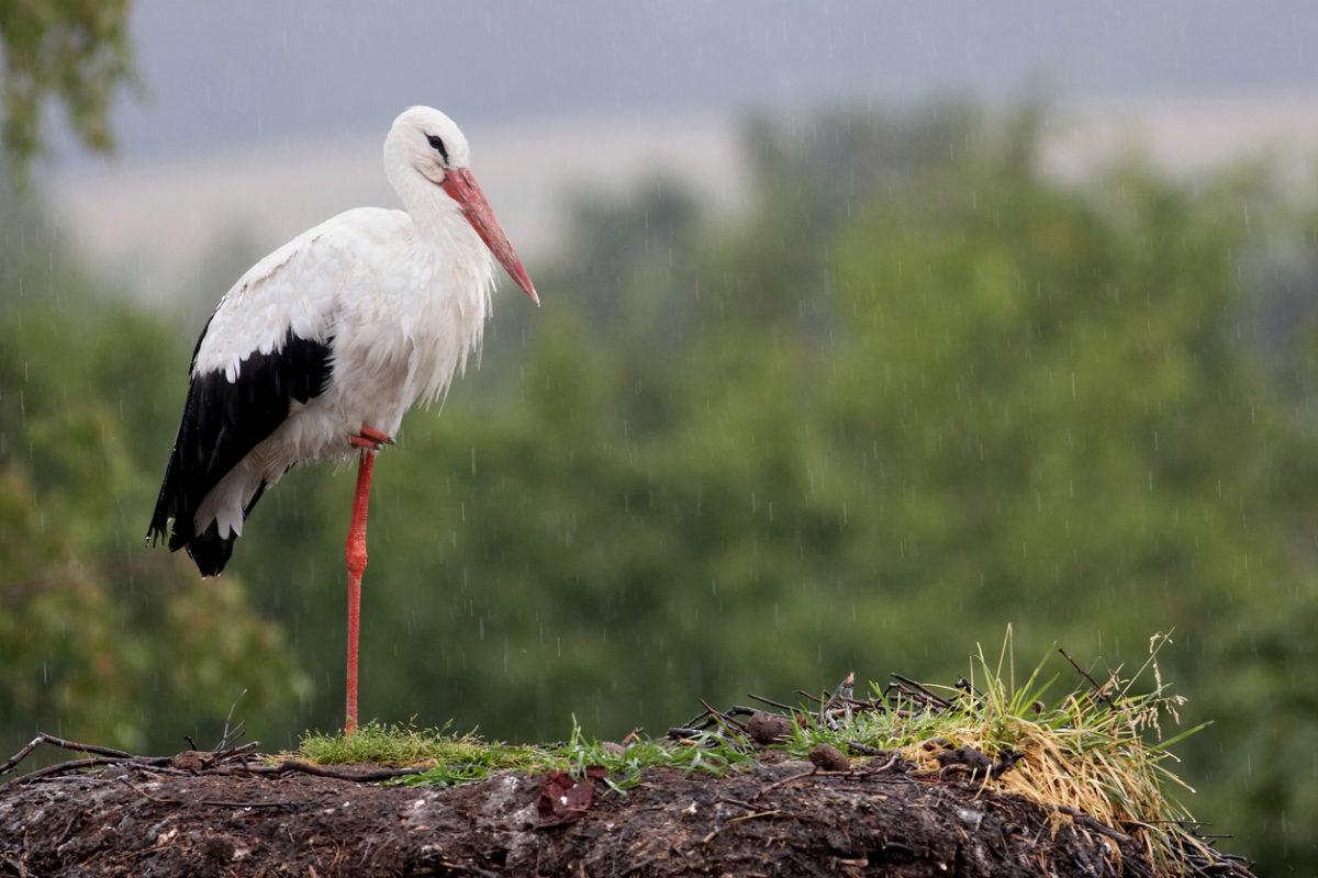 Költöző madarunk, a gólya ezért nem marad Afrikában
